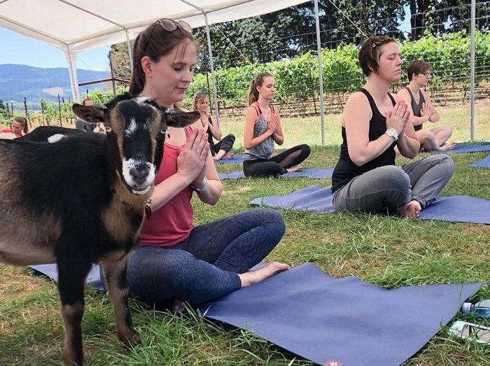 ¿Yoga con cabras? Esta es la última tendencia fitness