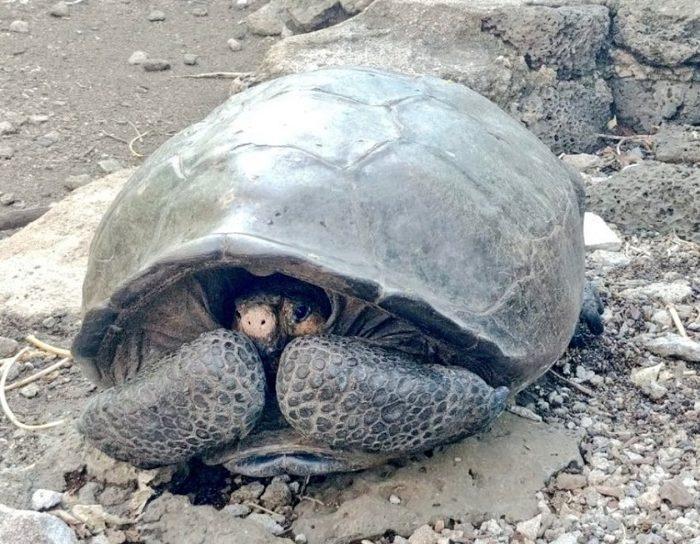Hallaron una tortuga gigante que se creía extinta hace un siglo